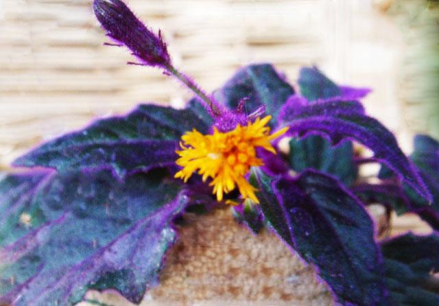 Гинура цветок уход в домашних условиях фото 46