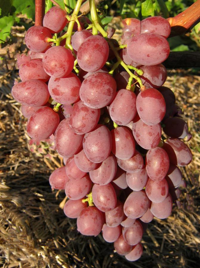 Виноград сорт симпатия описание